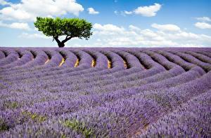 Bilder Lavendel Felder Bäume