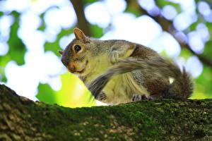Bilder Nagetiere Hörnchen Laubmoose Ast Tiere