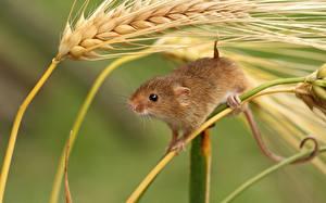 Bilder Nagetiere Mäuse Ähre Tiere