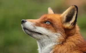 Fotos Füchse Schnauze Kopf Blick ein Tier
