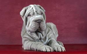Hintergrundbilder Hund Shar-Pei Graues ein Tier