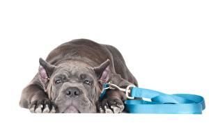 Bilder Hunde Grau Amstaff Tiere