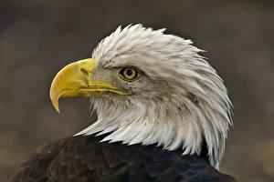 Pictures Bird Eagle Beak Head Animals