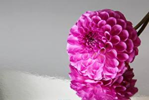 Hintergrundbilder Dahlien Großansicht Violett Blumen
