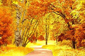 Pictures Seasons Autumn Trees Birch Orange Nature