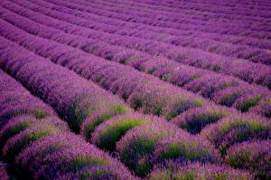 Hintergrundbilder Lavendel Acker Viel Violett Eynsford Kent