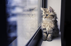Hintergrundbilder Hauskatze Fenster Glas Tiere