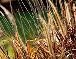 Hintergrundbilder Großansicht Gras Ähre