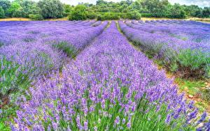 Bilder Lavendel Acker HDRI Blüte