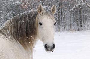 Wallpaper Horses Winter Head Snowflakes Snow animal