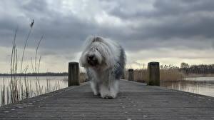 Photo Dog Berth Old English Sheepdog