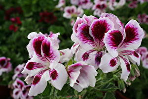 Fotos Storchschnäbel Hautnah Blüte