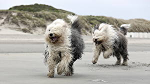 Images Dogs Running Beach Two Old English Sheepdog