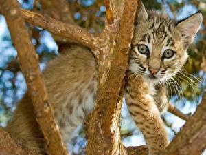 Hintergrundbilder Große Katze Jungtiere Ast Tiere