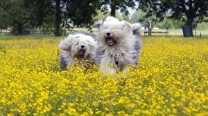 Photo Dogs 2 Running Old English Sheepdog Flowers