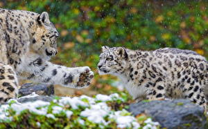 Pictures Big cats Snow leopards 2 Paws Animals