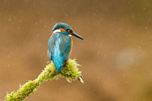 Hintergrundbilder Vögel Eisvogel Ast Laubmoose Tiere