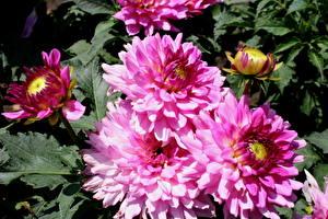 Fotos Dahlien Hautnah Blumen