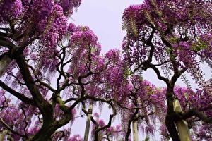 Bilder Blühende Bäume Blauregen Viel Ast Bäume Blumen