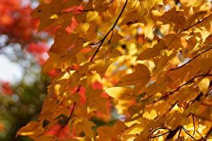 Hintergrundbilder Jahreszeiten Herbst Großansicht Viel Blatt Ast Natur