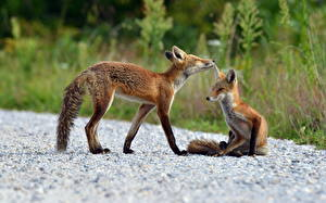 Pictures Foxes 2 animal