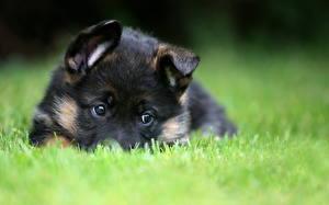 Hintergrundbilder Hunde Deutscher Schäferhund Welpe Gras Shepherd Tiere
