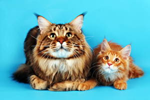 Pictures Cat Fluffy Staring Kittens 2 Maine Coon Animals