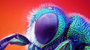 Papel de Parede Desktop Insetos moscas Olhos De perto um animal