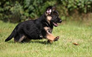 Bilder Hunde Deutscher Schäferhund Welpe Schwarz Gras Shepherd Lauf Tiere