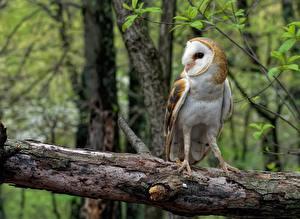 Fotos Vögel Eulen Ast ein Tier