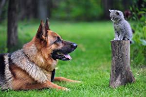 Bilder Hunde Katze Deutscher Schäferhund Shepherd Katzenjunges Gras Tiere