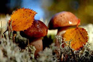 Bilder Nahaufnahme Pilze Natur Blatt Lebensmittel