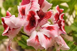 Pictures Geranium Closeup Pelargonium flower