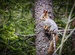 Bilder Nagetiere Eichhörnchen Baumstamm Ast Fichten Tiere