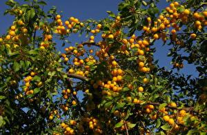 Bilder Obst Pflaume Ast Lebensmittel