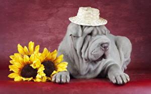 Hintergrundbilder Hunde Sonnenblumen Shar-Pei Der Hut Grau Tiere