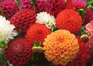 Hintergrundbilder Dahlien Hautnah Viel Blüte