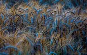 Fotos Acker Viel Weizen Ähre Natur