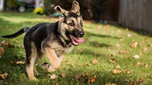 Hintergrundbilder Hunde Deutscher Schäferhund Welpe Shepherd Lauf Gras Tiere