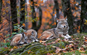 Wallpaper Wolf Two Animals