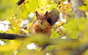 Hintergrundbilder Nagetiere Eichhörnchen Ast Tiere