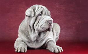 Hintergrundbilder Hunde Shar-Pei Grau Tiere