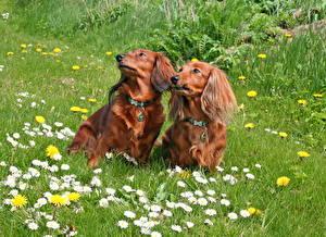 Photo Dog Camomiles Dachshund 2 Grass animal