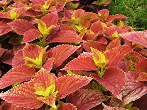Photo Coleus Many Closeup Flowers