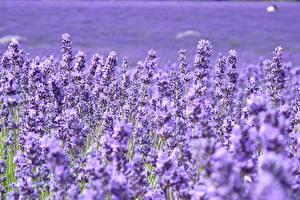 Hintergrundbilder Lavendel Viel Großansicht Violett Blüte