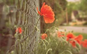 Bakgrunnsbilder Valmueslekta Nærbilde Gjerder Blomster