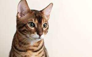 Bilder Katzen Bengalkatze Starren ein Tier