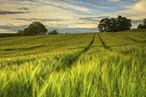 Bilder Felder Schweden Weizen Ähre