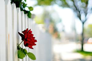 Bakgrunnsbilder Roser Nærbilde Gjerde blomst