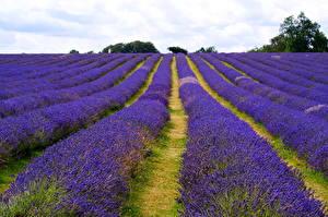Fotos Lavendel Viel Acker